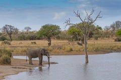 Elefantdricksvatten på Waterhole Royaltyfri Bild