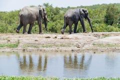 Elefantduett som går förbi ett bevattna hål som omges av tjocka gröna buskar royaltyfri foto