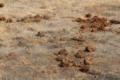 Elefantdynga i savannahen royaltyfri bild