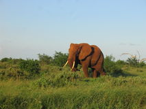 Elefante. Male of Elephant in the Kenyan bush stock photography