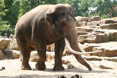 Elefante Foto de Stock Royalty Free