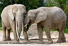 Elefante 17 Fotografie Stock