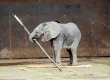 Elefante 2 del bambino Immagine Stock Libera da Diritti