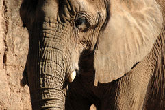 Elefante Fotografie Stock Libere da Diritti