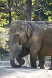 Elefante. Foto de archivo libre de regalías