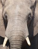 Elefante Fotos de Stock Royalty Free