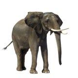 Elefante fotografía de archivo libre de regalías