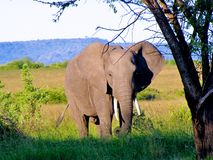 Elefante 1 Fotos de Stock