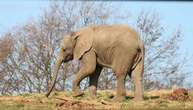 Elefante 4 del bambino Immagine Stock
