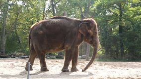 Elefante video d archivio