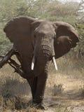 Elefante Fotografia Stock