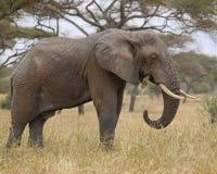 Elefante Fotografia de Stock Royalty Free