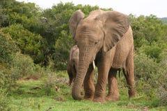 Elefante Imagenes de archivo