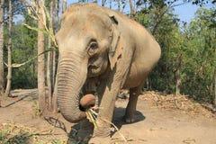 Elefante adulto Imagens de Stock Royalty Free