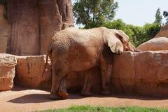 Elefante adulto grande no jardim zoológico imagem de stock royalty free
