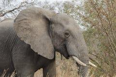 Elefante in Africa Fotografie Stock