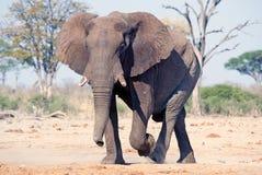 Elefante (africana del Loxodonta) Fotografía de archivo libre de regalías