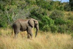Elefante africano Foto de Stock Royalty Free