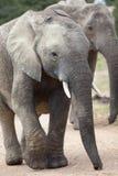 Elefante africano Fotografia de Stock Royalty Free