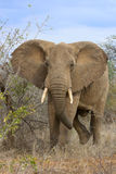 Elefante africano. Fotografia Stock