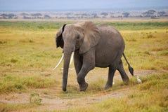 Elefante africano Foto de Stock