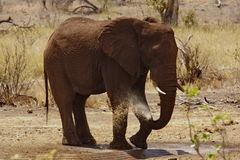 Elefante africano Fotografia de Stock