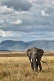 Elefante africano Imagenes de archivo
