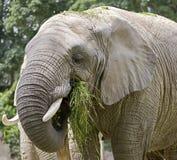 Elefante africano 3 foto de archivo