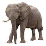 Elefante africano Fotografie Stock