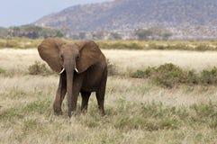 Elefante africano Imágenes de archivo libres de regalías