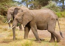 Elefante africano Imagen de archivo libre de regalías