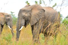 Elefante africano Imagen de archivo