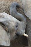 Elefante africano Immagini Stock