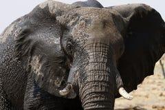 Elefante africano fotos de stock