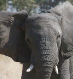 Elefante africano Foto de archivo