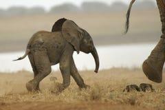 Elefante africano fotografía de archivo