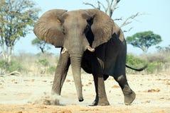 Elefante africano (africana del Loxodonta) imagenes de archivo