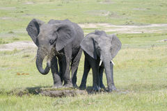 Elefante africano (africana del Loxodonta) Fotografía de archivo libre de regalías