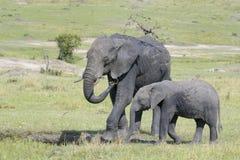 Elefante africano (africana del Loxodonta) Imagen de archivo