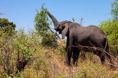 Elefante africano, africana del Loxodonta, ella rasga apagado las hojas de los arbustos, Namibia fotografía de archivo libre de regalías