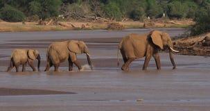 Elefante africano, africana del loxodonta, río de la travesía del grupo, parque de Samburu en Kenia, almacen de metraje de vídeo