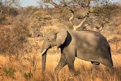 Elefante africano (africana do Loxodonta) Foto de Stock