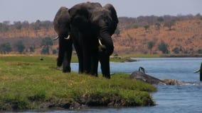 Elefante africano al fiume stock footage