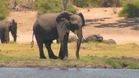 Elefante africano al fiume il giorno soleggiato archivi video