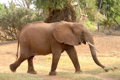 Elefante africano ambulante Fotografie Stock Libere da Diritti