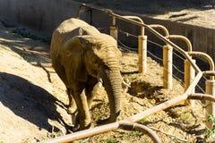 Elefante africano - animale, organismo vivente, mammiferi fotografie stock libere da diritti
