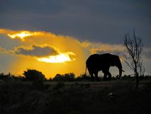 Elefante africano apenas no por do sol Foto de Stock Royalty Free