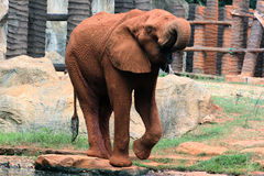 Elefante africano assetato Fotografia Stock Libera da Diritti