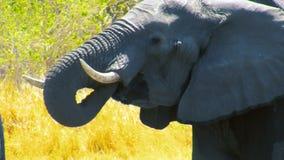 Elefante africano bevente stock footage