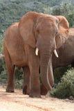 Elefante africano Bull fotografia stock